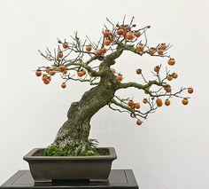 kaki bonsai - Cerca con Google