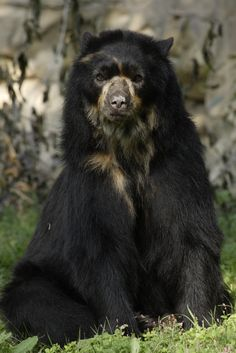 Andean or Spectacled Bear, the only bear native to South America