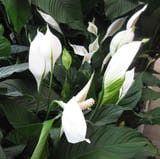 Spathiphyllum El espatifilo, flor de la paz o vela del viento