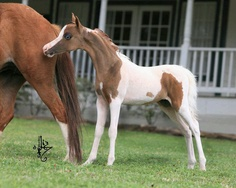 Miniature horse pinto