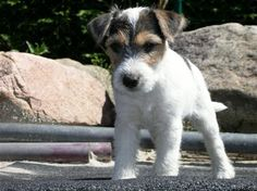 Parson Jack Russel, but sadly I could never own another one of these. Mickey will be the only JRT to have my heart.