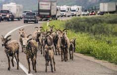 goats one humans zero - I think the goats are winning here in this traffic jam of another kind near Jasper Alberta. Jasper Alberta, First Humans, Goats, Camel, Zero, Wildlife, Memories, Animals, Memoirs