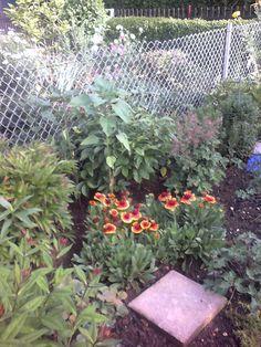 die Sonnenblumen im Steingarten wachsen auch ...