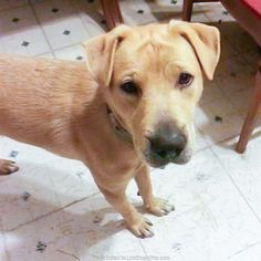 Lost Dog - Shar Pei - Akron, OH, United States 44305