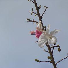 #itaberá #sersimplesé #natureza #hibisco #hibiscusflower #gardening