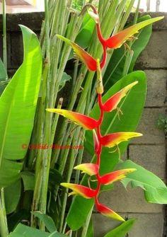 Heliconia marginata