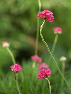 A charming plant not seen enough in gardens, armeria offers low, grassy foliage and clusters of bright pink or white flowers in late spring and early summer. For extra interest, look for 'Rubrifolia', which offers burgundy-tinged foliage.                         Name: Armeria maritima                         Growing Conditions: Full sun and well-drained soil                         Size: To 8 inches tall                         Zones: 3-9
