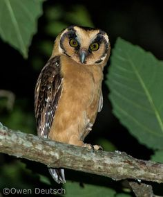 Buff-fronted Owl, very rare owl specie from South America
