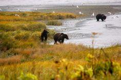 Kodiak Brown Bear, fishing for pinks.  #VirtualTourist