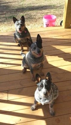 Brady Annie Roxy my babies Aussie Cattle Dog, Austrailian Cattle Dog, Baby Puppies, Dogs And Puppies, Doggies, I Love Dogs, Cute Dogs, Animals And Pets, Cute Animals