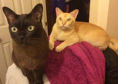#djangoandhartley #burmesecats #cats