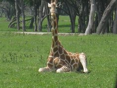 Deer Antelope Mix | Giraffe Relaxing (c) copyright 2012 by Brian Strother.