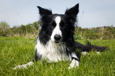 These 11 fun facts are truths that only border collie owners know to be true