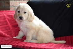 Goldendoodle Puppy for Sale in Ohio http://www.buckeyepuppies.com/puppy-for-sale/goldendoodle/alex-7