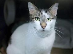 💞Safe 8-2-17 : Brooklyn Center  *RETURN*  VAL – A0942942 NEUTERED MALE, WHITE / BLK TIGER, DOMESTIC SH MIX,5 yrs OWNER SUR – ONHOLDAVAI, NO HOLD Reason MOVE2PRIVA Intake condition UNSPECIFIE Intake Date 07/02/2017, From NY 11236, DueOut Date 07/02/2017, I came in with Group/Litter #K17-102929.NEW PHOTO!  A volunteer writes: My pal Val would like to be your pal, too. He is a friendly, mellow fellow.