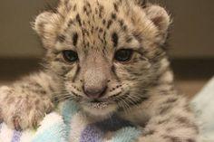 Niko, infant snow leopard