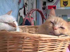 Dallas, TX - Domestic Longhair. Meet NUTMEG a Cat for Adoption.