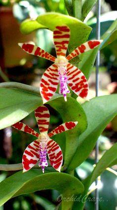 Trichoglottis smithii orchid