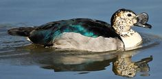 Knob billed or Comb ducks have a wide distribution including parts of Asia, South America and Africa. They prefer pans, lakes or rivers surrounded by woodland. South African Birds, Duck House, Kinds Of Birds, Kruger National Park, Game Birds, Bird Species, Beautiful Birds, South America, Mammals