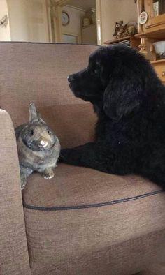 Newf lovin a bunny
