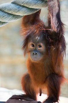Scimmie/Orango