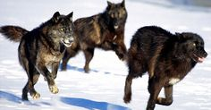 They Released Wolves Into The Wild With Good Intentions. No One Thought This Would Be The Result. ~~ One day, hopefully soon, people will accept that Mother Nature really does know what's best, and we just need to leave stuff alone.