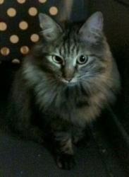 Leilei is an adoptable Maine Coon Cat in Anchorage, AK. LeiLei is a magnificent Maine Coon mix girl with the amazing ruff and tail. She is not a very large girl but has plenty of personality. ...  ...