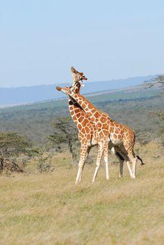 #Giraffes | Photo by: Teeku Patel