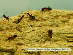 Carpenter ants damage wood through their nest building. If they gain entry to a structure, they pose a property threat.