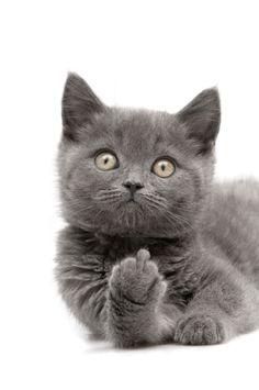 Rude Kitten