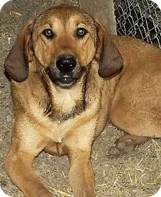 Savannah, MO - Hound (Unknown Type) Mix. Meet Kendra, a dog for adoption. http://www.adoptapet.com/pet/11248928-savannah-missouri-hound-unknown-type-mix