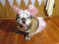 English Bulldog Josephine   hello ,my name is josephine . I am 5 years old .August,11,Happy Birthday! USA. Virginia
