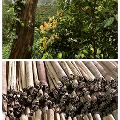 Ceylon cinnamon production from plant 🌱 to product. Amazing to see the production process❣️#maisongern #cinnamon #srilanka #ceyloncinnamon #organicfood #handmade #amazing
