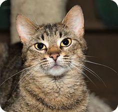 Medina, OH - Domestic Shorthair. Meet Robyn, a cat for adoption. http://www.adoptapet.com/pet/13478087-medina-ohio-cat