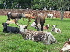 Inguni cattle chilling Zebu Cattle, Cows, Chilling, Tanzania, African, Animals, Animales, Animaux, Animal