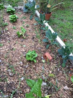 Raised garden....kale, lettuce, Swiss chard and onions