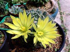 Esta Mammillaria longimamma tem flores grandes, com aproximadamente 5cm. Bem rústica é fácil de cultivar. Vc pode multiplicar por mudas late...