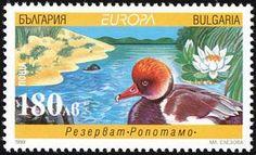 Nature Reserve Ropotamo, Red-crested Pochard (Netta rufina)