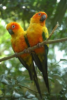Sun Conure parrots, also known as Sun Parakeets.