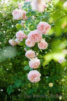 Beautiful climbing pale pink 'Pierre de Ronsard' roses in the Ca' delle Rose garden