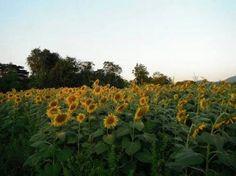 Tha-I-bun sunflower 8