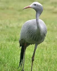 National bird, the Blue Crane Crane, South Africa, Bird, Street, Animals, Animales, Animaux, Birds, Animal