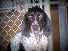 #Founddog 6-11-14 STRAY #Palatka #FL ID# 1381 female Blue Tick #Hound PCSO ANIMAL SERVICES https://m.facebook.com/story.php?story_fbid=723393251056897&substory_index=0&id=519613888101502