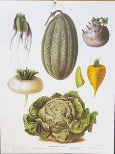 Vegetable Print Vilmorin Large Limited Edition  Lithograph Carrot Lettuce Turnip Melon Food Art French Kitchen Decor Vintage Kitchen Art