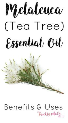 Try Melaleuca (aka Tea Tree) Essential oil! It's a great addition to your Natural Medicine Cabinet. Click to learn more about the uses and benefits of this oil.<br>www.thepricklypilotswife.com<br>#doterra #essentialoils #teatree #melaleuca<br>