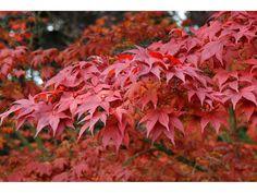 Rotblättriger Japanischer Fächerahorn, großblättrig, 3 Liter Topf 1