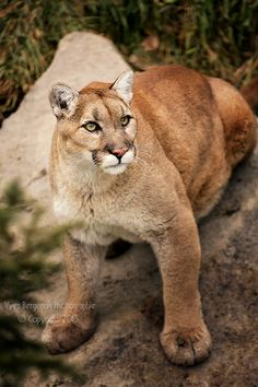 A Cougar Looking Very Frightened and Ready to Run. (by Sagittor Yves Bergeron).