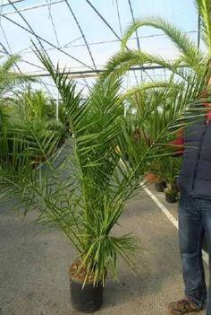 palmier de chine trachycarpus fortunei le palmier le plus r sistant au gel jusqu 39 15 c. Black Bedroom Furniture Sets. Home Design Ideas