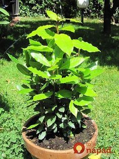 Learn how to grow bay leaf laurel, it is a Mediterranean herb famous for culinary uses. Growing bay leaf laurel requires a basic knowledge of its requirements and growing conditions. Bay Leaf Plant, Bay Leaf Tree, Bay Leaves, Bay Trees In Pots, Potted Trees, Growing Herbs, Growing Tree, Vegetable Garden, Garden Plants