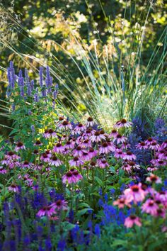 Another lovely summer colour palette at Heronswood! This is a great combination of Agastache 'Blue fortune' (back left), Stipa gigantea (grass at back), Sedum 'Purple Emperor' (back right), Coneflower 'Magnus Superior' (centre), Salvia sylvestris 'May Night' and Salvia nemorosa 'Blue Hills' (front).